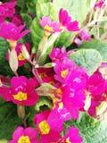 Plant purple jasper royalty free stock images