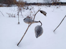 Plants in winter. A kind of plant in the snow Royalty Free Stock Photography