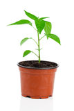 Plants of young paprika Royalty Free Stock Image