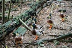 Plantschende Ente im Zoo lizenzfreie stockfotografie