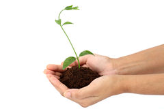 Plantula Immagine Stock Libera da Diritti