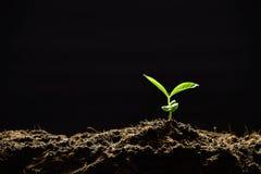 Plantula Fotografia Stock Libera da Diritti