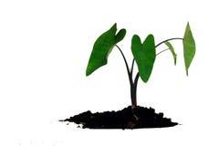 Plantula, Caladium Fotografie Stock