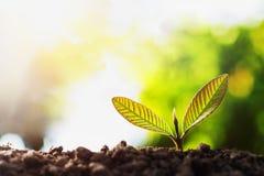 plantula che cresce con la luce del sole immagini stock