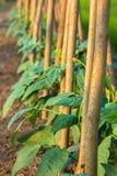 Plantula che cresce nel suolo Fotografia Stock