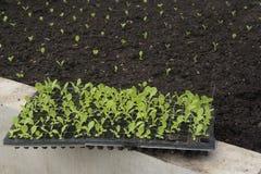 Plantula che cresce nell'azienda agricola su suolo marrone fotografia stock libera da diritti