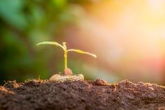 Plantula che cresce nell'incandescenza di luce solare Immagini Stock