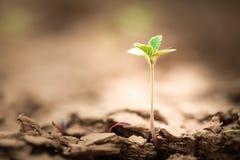 plantula che cresce sulla terra della crepa Immagini Stock
