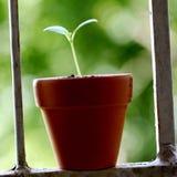 Plantula che cresce in un vaso Fotografia Stock Libera da Diritti
