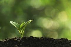 Plantula del primo piano che cresce nella natura o nell'agricoltura di risparmi di concetto del suolo sul fondo verde molle dell' immagini stock libere da diritti