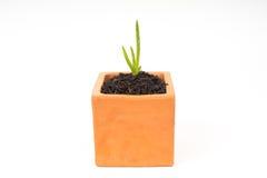 plantula di vera dell'aloe in vaso Fotografia Stock