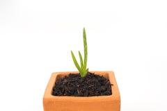 plantula di vera dell'aloe in vaso Fotografia Stock Libera da Diritti