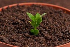 Plantula germogliata fotografia stock libera da diritti