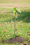 Plantula sul mucchio di suolo Fotografie Stock