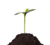 Plantula in terra, concetto di nuova vita fotografia stock