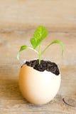 Plantula in uovo Immagini Stock