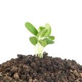 Plantule che crescono sul suolo contro il bianco Fotografia Stock