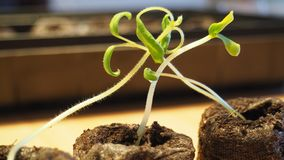Plantule dei pomodori Immagini Stock