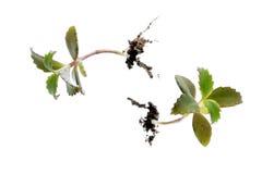 Plantule di Kalanchoe Fotografia Stock