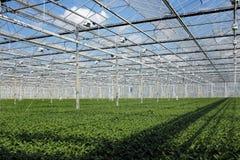 Plantule in serra fotografia stock