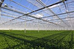 Plantule in serra Immagine Stock