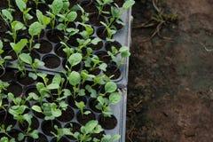 Plantule in vassoio di plastica della scuola materna, azienda agricola della verdura della scuola materna Immagini Stock