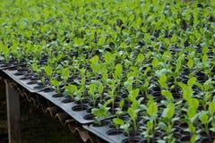 Plantule in vassoio di plastica della scuola materna, azienda agricola della verdura della scuola materna Immagini Stock Libere da Diritti