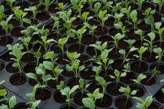 Plantule in vassoio di plastica della scuola materna, azienda agricola della verdura della scuola materna Fotografie Stock