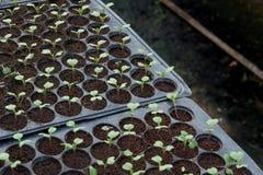 Plantule in vassoio di plastica della scuola materna, azienda agricola della verdura della scuola materna Immagine Stock Libera da Diritti