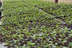 Plantule in vassoio di plastica della scuola materna, azienda agricola della verdura della scuola materna Fotografia Stock