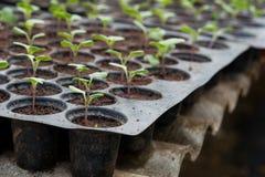 Plantule in vassoio di plastica della scuola materna, azienda agricola della verdura della scuola materna Fotografia Stock Libera da Diritti