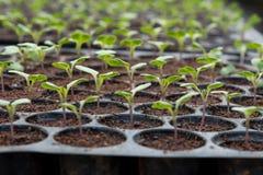 Plantule in vassoio di plastica della scuola materna, azienda agricola della verdura della scuola materna Fotografie Stock Libere da Diritti