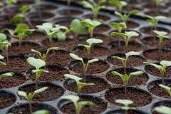 Plantule in vassoio di plastica della scuola materna, azienda agricola della verdura della scuola materna Immagine Stock