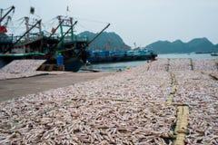 Planty di piccola essiccazione del pesce dell'acciuga sull'aria aperta Immagine Stock