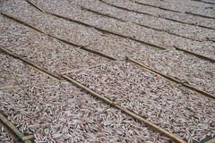 Planty of little anchovy fish drying on open air Royalty Free Stock Photo