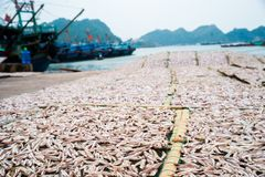 Planty of little anchovy fish drying on open air Royalty Free Stock Images