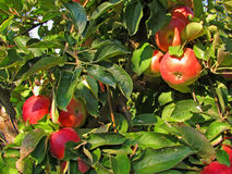 Planty of ripe red apples on branches of apple tree Royalty Free Stock Images