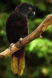 Plappern Sie schwarzen Lory, Chalcopsitta-atra, Maluku-Inseln, Neu-Guinea, Indonesien nach, Lizenzfreie Stockfotos