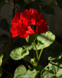 Pélargonium de floraison, plante d'intérieur fleurissante, rouge Image stock