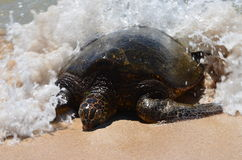 Plaskad sköldpadda för grönt hav fotografering för bildbyråer