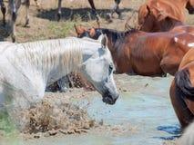 Plaskande arabisk häst i sjön bland flocken. Royaltyfri Foto