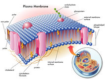 Plasma membrane. Medical illustration of elements of plasma membrane