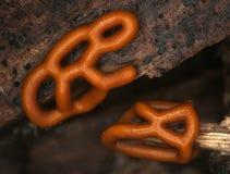 Plasmodiocarp fruktkropp av en Hemitrichia för slamform serpula Fotografering för Bildbyråer