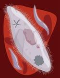 Plasmodium palúdico a través de la circulación sanguínea, ejemplo del vector Imagen de archivo libre de regalías