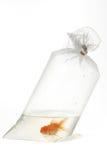 plast- för fiskguldpacke Arkivfoto