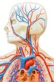 Plast- modell för mänskligt huvud arkivbild