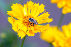 Plasterer Bee, Colletes fulgidus. On Coreopsis, aka Tickweed, in Santa Fe, New Mexico royalty free stock images