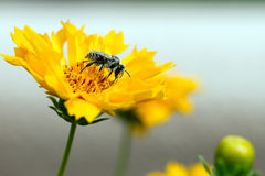 Plasterer Bee, Colletes fulgidus. On Coreopsis, aka Tickweed, in Santa Fe, New Mexico stock photos