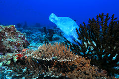 Plastic bag on corals. In the tropical coral reef of the indian ocean Royalty Free Stock Images