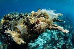 Plastic Bag Killing Elkhorn Coral Colony in Caribbean. Discarded plastic has wrapped around a Elkhorn coral colony, slowly smothering it on a coral reef growing stock image